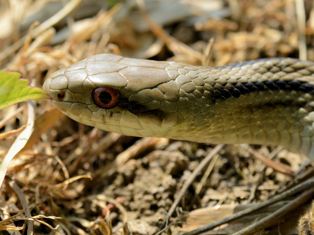 シマヘビの画像 p1_35