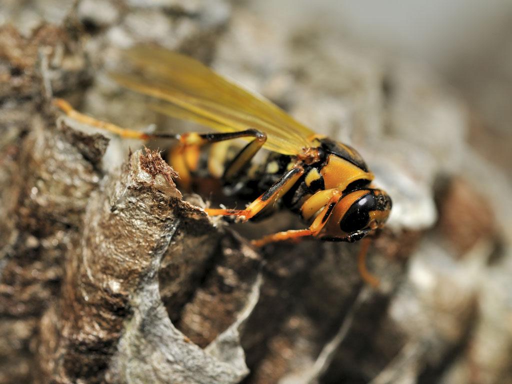 アシナガバチの画像 p1_33