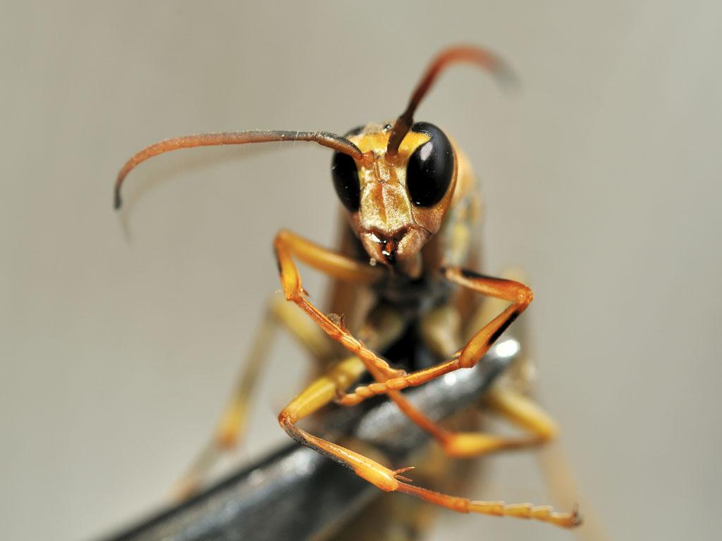 アシナガバチの画像 p1_9